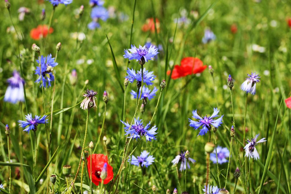 fiori castelluccio norcia